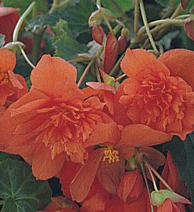 Illumination® Orange - Tuberous Begonia - Begonia x tuberhybrida