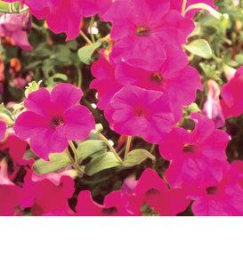 Surfinia® Purple (Brilliant Pink) - Petunia hybrid