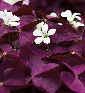 Charmed® Wine - Shamrock - Oxalis triangularis