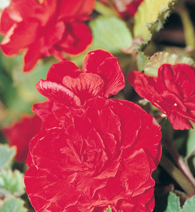 Nonstop® Red - Tuberous Begonia - Begonia x tuberhybrida