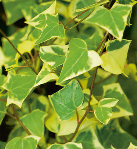 Variegata - German Ivy - Senecio mikanioides