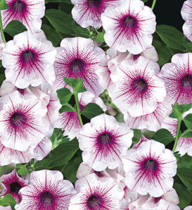 Surfinia® Rose Veined - Petunia hybrid