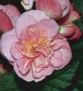 Nonstop® Pink - Tuberous Begonia - Begonia x tuberhybrida