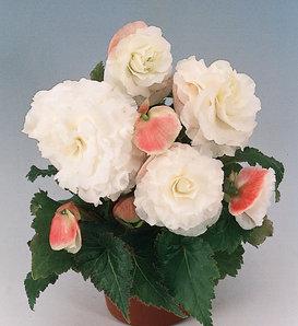 Nonstop® Appleblossom - Tuberous Begonia - Begonia x tuberhybrida