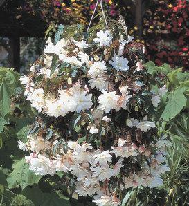 Illumination® White - Tuberous Begonia - Begonia x tuberhybrida