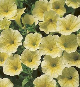 Surfinia® Patio Yellow - Petunia hybrid