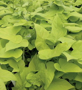 Proven Accents® Margarita - Sweet Potato Vine - Ipomoea batatas