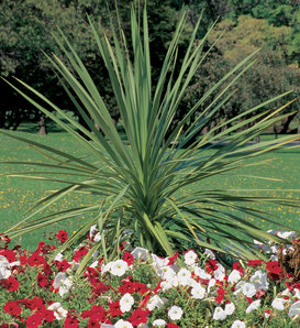 Proven Accents®  - Spikes - Dracaena indivisa