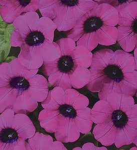 Blanket® Purple - Petunia hybrid