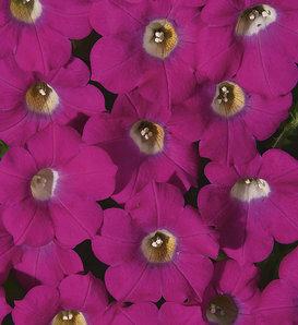 Blanket® Rose - Petunia hybrid