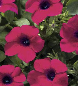 Blanket® Zinfandel - Petunia hybrid