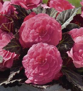 Nonstop® Mocca Pink Shades - Tuberous Begonia - Begonia x tuberhybrida
