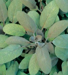 Purpurascens Sage - Purple Leaf Sage - Salvia officinalis