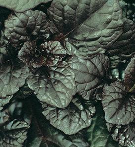 Catlins Giant - Bugleweed - Ajuga reptans