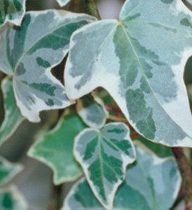Proven Accents® Glacier - Ivy - Hedera helix