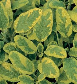 Icterina - Golden Leaf Sage - Salvia officinalis