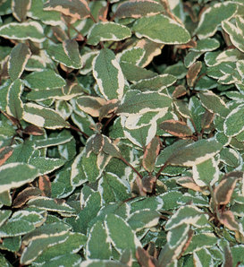 Proven Accents®  - Tricolor Sage - Salvia officinalis