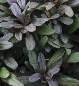 Chocolate Chip - Bugleweed - Ajuga reptans