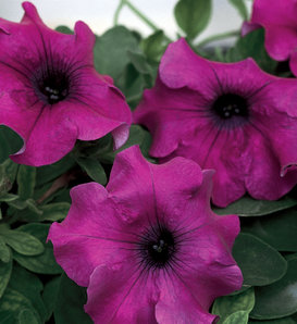 Surfinia® Giant Purple - Petunia – These Vigorous Annual Flowers Offer Versatility and Variety hybrid