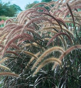 Graceful Grasses® Purple Fountain Grass - Pennisetum setaceum 'Rubrum'