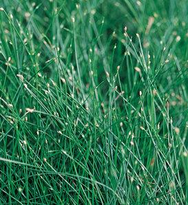 Graceful Grasses® Fiber Optic Grass - Isolepsis (Scirpus) cernus
