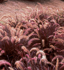 Graceful Grasses® Red Riding Hood - Dwarf Purple Fountain Grass - Pennisetum setaceum