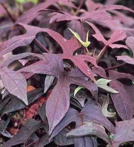 Proven Accents® Blackie - Sweet Potato Vine - Ipomoea batatas