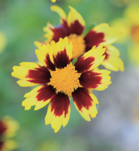 Big Bang™ Cosmic Eye - Tickseed - Coreopsis hybrid