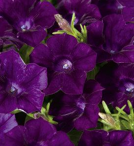 Blanket® Velvet Midnight - Petunia hybrid