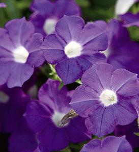 Blanket® Violet - Petunia hybrid