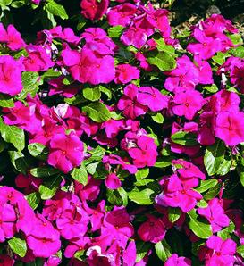 Cora® Burgundy - Vinca - Catharanthus roseus