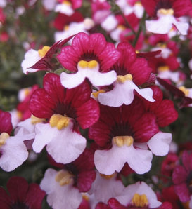 Juicy Fruits® Cherry on Ice - Nemesia hybrid