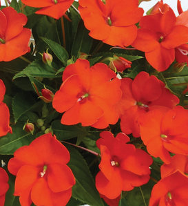 SunPatiens® Compact Electric Orange - Impatiens x hybrida