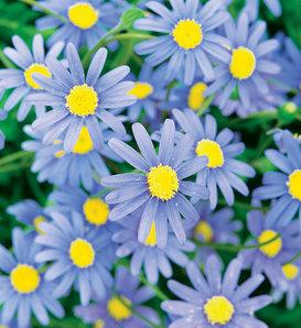 Cape Town Blue - Blue Felicia Daisy - Felicia hybrid