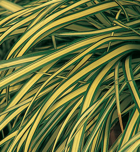 Evergold - Sedge - Carex hachijoensis