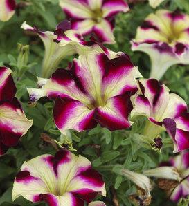 Crazytunia® Pulse - Petunia hybrid