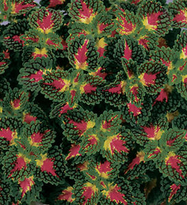 ColorBlaze® Strawberry Drop - Coleus - Plectranthus scutellarioides