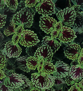 ColorBlaze® Chocolate Drop - Coleus - Plectranthus scutellarioides