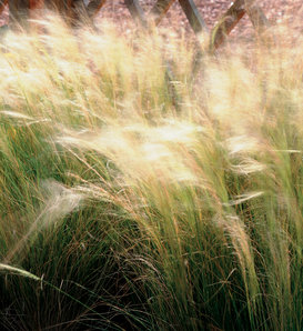 Mexican Feather Grass - Nassella (formerly Stipa) tenuissima