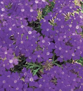 Tapien® Blue Violet - Verbena hybrid