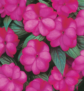 Infinity® Blushing Lilac - New Guinea Impatiens - Impatiens hawkeri