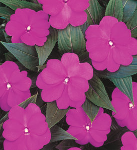 Infinity® Light Purple - New Guinea Impatiens - Impatiens hawkeri