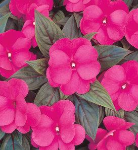 Infinity® Dark Pink - New Guinea Impatiens - Impatiens hawkeri