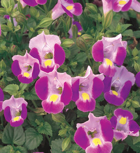 Catalina® Pink - Wishbone Flower - Torenia