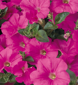 Supertunia® Trailing Bright Pink - Petunia hybrid