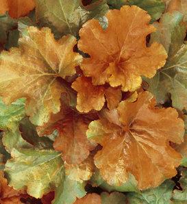 Creme Brulee - Coral Bells - Heuchera hybrid
