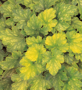 Key Lime Pie - Coral Bells - Heuchera hybrid