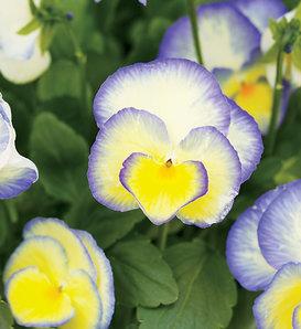 Etain - Viola hybrid