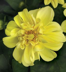 Dalina® Midi Sumatra - Dahlia hybrid