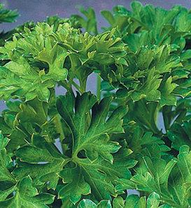 Curly Parsley - Petroselinum crispum